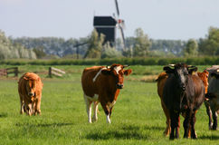 Dutch cows 2. Several dutch cows coming towards you with windmill on the background Royalty Free Stock Photo