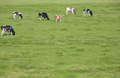 Dutch cows Royalty Free Stock Photography
