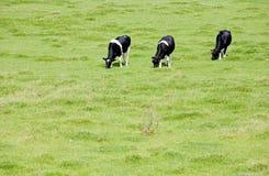 Dutch cows Stock Image