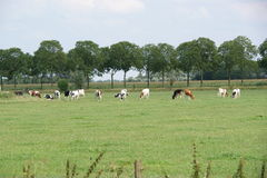 Dutch Cows. In the meadow in the Netherlands Stock Photography