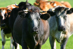 Dutch cows. Several dutch cows coming towards you Stock Photography