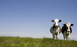 Dutch cows Royalty Free Stock Photos