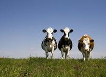 Dutch cows stock photos