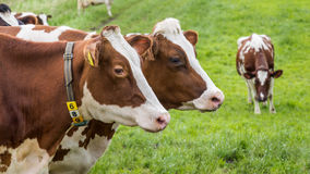 Dutch cows Royalty Free Stock Image
