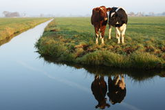 Dutch cows at creek Royalty Free Stock Photos