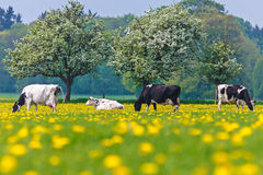 Dutch cows in a dandelion filled meadow in springtime Royalty Free Stock Photos
