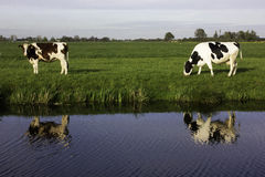 Dutch cows. Farm dutch cows at  green background outside Stock Images