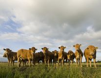 Dutch Cows Feeding Stock Photos
