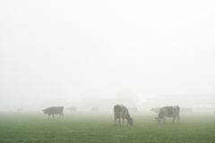 Dutch cows in fog Royalty Free Stock Photography