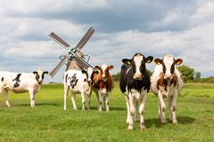 5 dutch cows in front of a historic windmill royalty free stock images