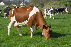 Dutch cows in landscape Stock Photography