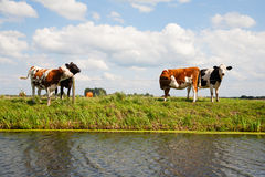 Dutch cows Royalty Free Stock Photo