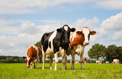 Dutch cows Stock Image