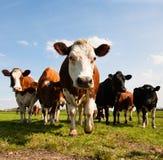 Dutch cows Royalty Free Stock Photos