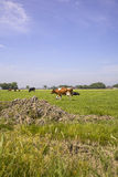 Dutch cows on a meadow Stock Photo