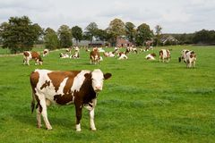 Dutch cows in a meadow field. Brown & white cows in a meadow field in Holland Stock Photos