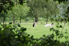 Dutch cows in the meadow Stock Photo