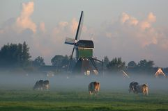 Dutch cows in morning fog. Two dutch cows in morning fog with windmill in the background Royalty Free Stock Images