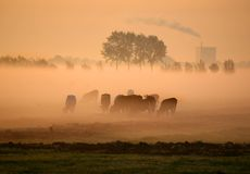Dutch cows in morning fog. With factory in the background Stock Photos