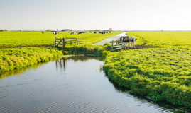 Dutch cows in a polder landscape Royalty Free Stock Photography