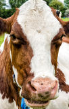 Dutch Cows Stock Photography