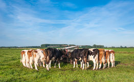 Dutch cows still tied after milking Royalty Free Stock Photo
