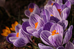 Dutch crocus stock image