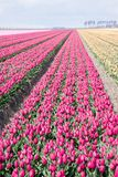 Dutch cultivation of tulip flower bulbs in spring Royalty Free Stock Photography