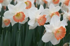 Dutch daffodils Royalty Free Stock Photography