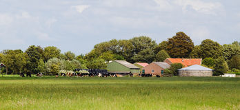 Dutch dairy farm with cows Royalty Free Stock Photography