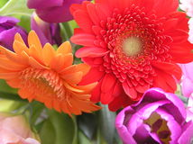 Dutch delights. Colorful shot of birght colored gerbera daisies and tulips Royalty Free Stock Photography