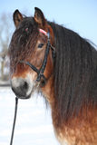 Dutch draught horse with bridle in winter. Portrait of dutch draught horse stallion with bridle standing on snow in sunny winter Royalty Free Stock Photos