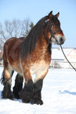 Dutch draught horse with bridle in winter. Dutch draught horse stallion with bridle standing on snow in sunny winter Stock Photography