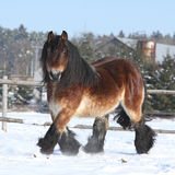 Dutch draught horse with long mane running in snow. Gorgeous dutch draught horse with long mane running in the snow in winter Royalty Free Stock Image