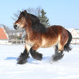Dutch draught horse with long mane running in snow Stock Photos