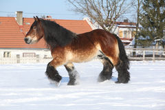 Dutch draught horse with long mane running in snow Stock Photo