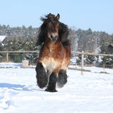 Dutch draught horse with long mane running in snow