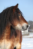 Dutch draught horse stallion in winter Royalty Free Stock Photo