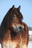 Dutch draught horse stallion in winter Royalty Free Stock Images
