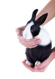 Dutch dwarf rabbit in children's hands. Isolated on white backgr Stock Photos