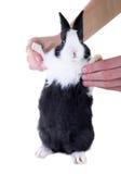 Dutch dwarf rabbit in children's hands. Visible big cheeks Stock Photos