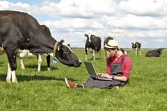 Dutch farmer with his laptop between the cows Royalty Free Stock Photography