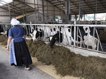 Dutch farmer`s woman in traditional costume on dairy farm in hol Stock Photography
