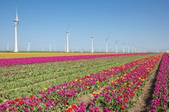 Dutch farmland with purple tulip field and big windturbines Stock Photo