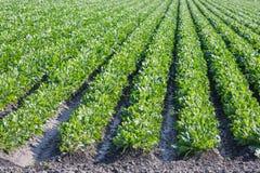 Dutch farmland with sugar beets Royalty Free Stock Photos
