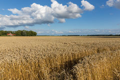 Dutch farmland with wheat field and cloudscape Stock Photography