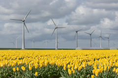 Dutch farmland with wind turbines and yellow tulip field Royalty Free Stock Photo