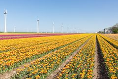 Dutch farmland with yellow tulip field and big windturbines Stock Images