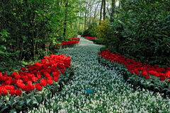 Dutch field of flowers Stock Photography