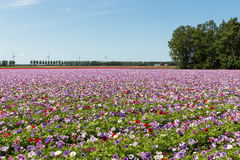 Dutch field with purple blooming anemones Royalty Free Stock Photos